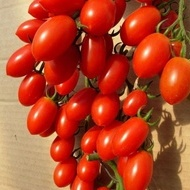 Lucinda F1 – 100 sem – Seminte Rosii Tip Cherry Prunisoare Nedeterminata de la Hazera Genetics