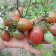 Ukrainean Purple (30 seminte) rosii prunisoare de culoare purpuriu-negru, gust dulce, Anglia