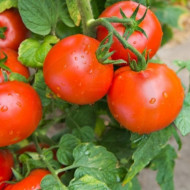 Campbell 33 (300 seminte), rosii rotunde, zemoase, determinate, de camp, Agrosem