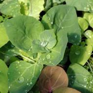 Loboda de gradina verde (0.4 grame), seminte de loboda pentru salate si supe, Agrosel