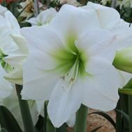 Amaryllis Antarctica (1 bulb), crinul de camera, floare culoare alb, bulbi de flori