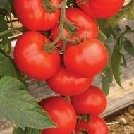 Amerigo F1 (500 seminte) de rosii extratimpurii cu crestere nedeterminata, Sakata