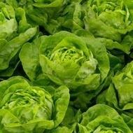 Analena - 2500 sem - Seminte de salata cu frunze mari de grosime medie ce formeaza capatani trainice intr-un timp foarte scurt de la Enza Zaden