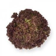 Anthony - 5000 sem - Seminte de salata creata tip lollo rosa cu frunze de culoare rosu-inchis fine si crocante avand o perioada de vegetatie de 30-40 de zile si nu emite tija florala de la Rijk Zwaan