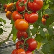 Attiya F1 - 1000 sem - Seminte de tomate nedeterminate pentru culturile din ciclul 1 si 2 in spatii protejate si camp deschis cu fructe de tip beef de o calitate superioara de la Rijk Zwaan