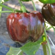 Aurelius F1 (15 seminte) ardei gogosar productivitate ridicata, Agrosel