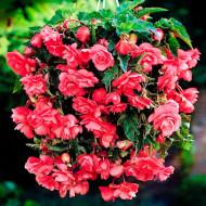 Begonie Ilumination Pink (2 bulbi), floare culoare roz, semicurgatoare, bulbi de flori