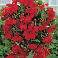 Begonie Pendula Dark-Red (3 bulbi), floare mare, curgatoare, culoare rosu, bulbi de flori