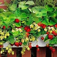Capsuni - 150 sem - Seminte de Capsuni Decorative Planta anuala de la Biosem Bulgaria