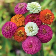 Carciumarese Mini Mix (60 sem.), seminte flori Carciumarese mini mix, Opal
