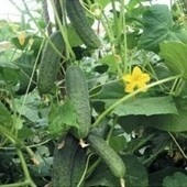Castraveti Ajax F1 - 500 Seminte de Castraveti Cornison Hibrid semitimpuriu cu flori predominant femele