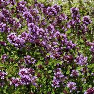 Cimbrisor - Lamaioara (0,3 g), seminte de cimbru de camp, planta aromatica si decorativa, Agrosem