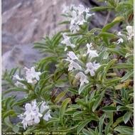 Cimbru de Iarna (Satureja montana) - Seminte Plante Medicinale Cimbru de Iarna de la Florian