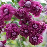 Clematite Purpurea Plena Elegans (ghiveci 2 L), tufa ornamentala cataratoare Clematis, inflorire abundenta, flori duble rosii-purpurii