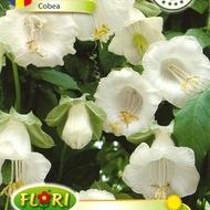 Cobea ALBA - Seminte Flori Cobea ALBA de la Florian