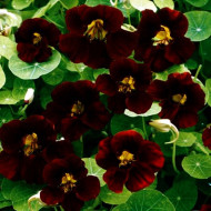Condurul Doamnei Catifea Neagra (2 g), plante cu flori colorate intr-o nuanta eleganta aproape neagra, Papucul Doamnei, Opal