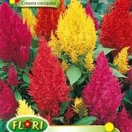 Creasta Cocosului - Seminte Flori Creasta Cocosului de la Florian
