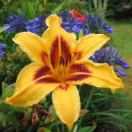 Crin Hemerocallis Bonanza (ghiveci 1,5 L), crin de o zi cu flori superbe galben-aurii si centrul purpuriu inchis
