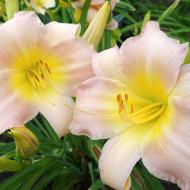 Crin Hemerocallis Catharina Woodberry (ghiveci 1,5 L), crin de o zi cu flori colorate in roz delicat si galben fin