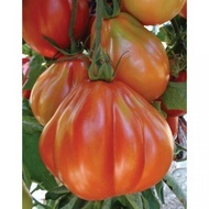 Cuoresisto F1 - 500 sem - Seminte de tomate Cuoresisto F1 tip Inima de Bou pentru sere si camp deschis de la Four Blumen