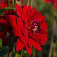 Dalie All Directions (1 bulb), dalie cu flori mari, cu petale ce isi schimba culoarea, de la rosu aprins la purpuriu, bulbi de flori
