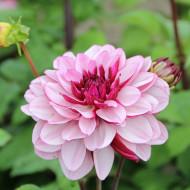 Dalie Creme de Classis (1 bulb), culoare mov, deosebita, bulbi de flori