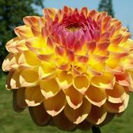 Dalie Lakeland Autumn (1 bulb), floare culoare galben cu roz, bulbi de flori