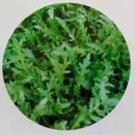 Dallas - 1 kg  - Seminte de rucola (baby leaf) ideala pentru semanare in perioadele reci ale anului septembrie - februarie ce se comporta excelent in conditii de luminozitate si temperaturi scazute de la Isi Sementi