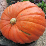 Dovleac Big Max (8 seminte), dovleac pulpa groasa, dulce, Agrosem