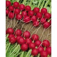 Estela - 50 grame - Seminte de ridichi cu bulbi de culoare rosie foarte apreciate in randul cultivatorilor in special pentru structura interna a bulbilor si pentru uniformitatea productiei de la Enza Zaden