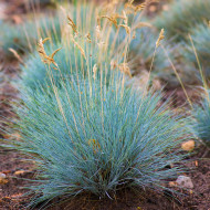 Festuca glauca Elijah Blue (ghiveci 1,5 l), iarba perena ornamentala albastruie