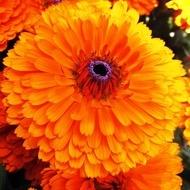 Filimica (Galbenele) - Seminte Flori de Galbenele de la Florian