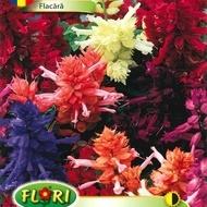 Flacara - Seminte Flori Flacara Planta Anuala de la Florian