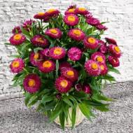 Flori de pai rosii (0.4 grame) seminte de flori pentru uscare, Agrosem