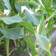 Folia de mulcire fotoselectiva maro legume in sere si solarii latime 5.2m/20mic/rola 2000m (19.5Ron/Kg), polietilena de calitate superioara, Sotrafa