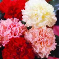 Garoafe Chabaud mix (0.2 grame) seminte de garoafe mixtura, cu flori mari, Agrosem