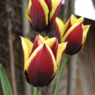 Gavota (5 bulbi), lalele bicolore bordo cu galben, bulbi de flori