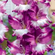 Gladiole Cum Laude (7 bulbi), gladiole cu flori mari, usor gofrate, colorate in visiniu intens si alb, bulbi de flori