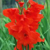 Gladiole Oscar (7 bulbi), gladiole cu flori foarte mari de culoare rosu-catifea, bulbi de flori