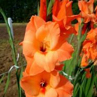 Gladiole Peter Pears (7 bulbi), gladiole cu flori mari, elegante, de culoarea piersicii, bulbi de flori