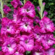 Gladiole Vuvuzela (7 bulbi), cu flori lila si petale ondulate, bulbi de flori