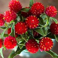 Gomfrena rosie (0,15 g), seminte de flori colorate, globulare, Agrosem