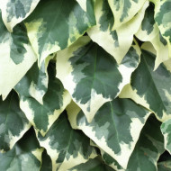 Hedera Dentata Aurea (ghiveci 2 L), iedera decorativa, frunze colorate in verde si galben
