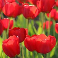 I to Holland (8 bulbi), lalele rosii, bulbi de flori