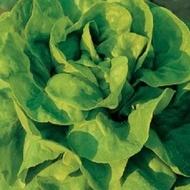 Justine (10 gr) seminte de salata prezentand toleranta foarte buna la emiterea tijelor florale si rezistenta la paritia de arsuri marginale ale foliajului de la Clause