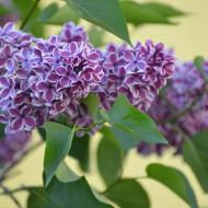 Liliac Sensation, arbust ornamental cu flori grupate in buchete conice, de culoare mov cu margini argintii, parfumate, 1 arbust de 1,5-2 m inaltime, Yurta
