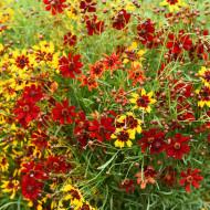 Lipscanoaie mix (1 g), seminte de planta anuala cu flori uni sau bicolore, in combinatii de galben-roscat sau portocaliu-brun, Agrosem