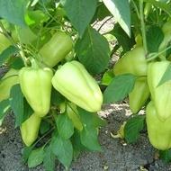 Lotta F1 - 500 sem - Seminte de ardei gras ce se caracterizeaza printr-o putere de legare buna uniformitate excelenta a fructelor si adaptabilitate pe diferite tipuri de cultura de la Enza Zaden