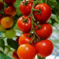Marglobe seminte de rosii (1 gr), soi rotund semitimpuriu cu crestere nedeterminata, Mefim