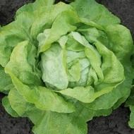 Megis - 5000 sem - Seminte de salata ce produce capatani foarte dense cu frunze bine adunate catre centru de la Bejo